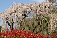 川井家のしだれ桜