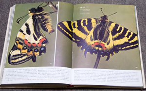 ヒメギフチョウの羽化
