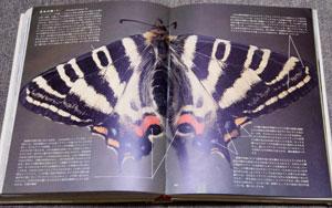 二色の尾灯。ギフチョウとヒメギフチョウの見分け方