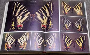 五色の翅。ギフチョウの異状型