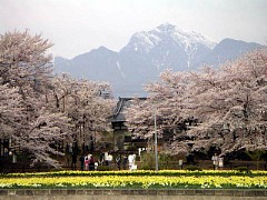 武川実相寺の山高の神代桜