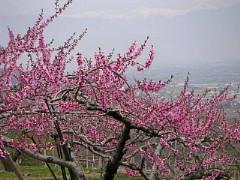 八代町ふるさと公園の桃と南アルプス