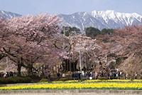 山高・実相寺の神代桜(中央)