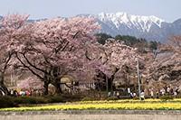実相寺の神代桜とアサヨ峰
