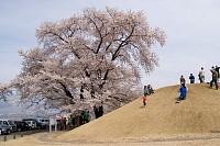 蚕影桜(こかげざくら)